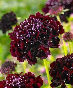 Hardy Perennials, Hardy Plants, Home Garden Plants, House Plants, Evergreen Hedge, Dark Purple Flowers, Plants Online, Plantation, Garden Ornaments