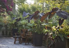 large container gardens, black elephant ears   Flickr - Photo Sharing! A great way to add instant privacy to your patio or any not-too-large an area.