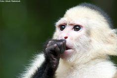 CURIOSIDADE ANIMAL Macaco-prego-de-cara-branca usa planta como repelente de insetos http://abr.ai/1iC00m8