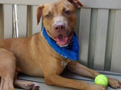 TO BE DESTROYED 06/17/15 MANHATTAN LOU aka ANGEL – A1014453 **RETURNED 06/07/15 due to Personal Problems** NEUTERED MALE, BROWN / WHITE, PIT BULL MIX, 2 yrs, 9 mos OWNER SUR – ONHOLDHERE, HOLD FOR ID Reason PERS PROB Intake condition EXAM REQ Intake Date 06/07/2015, From NY 10027, DueOut Date 06/10/2015, http://nycdogs.urgentpodr.org/lou-aka-angel-a1014453/