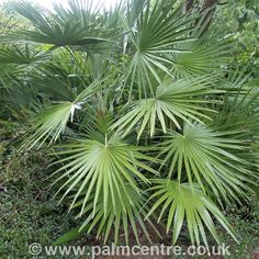 Chamaerops humilis - Mediterranean fan palm |The Palm Centre Tropical Backyard Landscaping, Small Front Yard Landscaping, Landscaping Plants, Landscaping Ideas, Palm Garden, Garden Shrubs, Garden Trees, Garden Paths, Tall Succulents