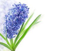 Hyacinth Flower Spring Background