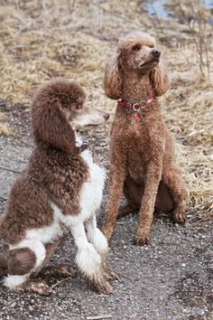 Earthy poodles...