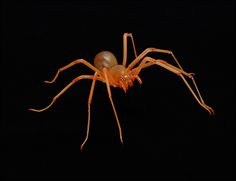The cave spider (Trogloraptor marchingtoni), first discovered in the dark zone of a cave in the coastal forests of Oregon, differs from other spiders so much that scientists created a new family to classify it. One feature that sets it apart: unmatched toothed claws at the end of each leg that are likely used for capturing prey.