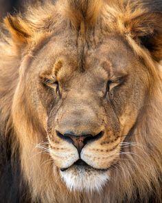 Cheyenne Mountain Zoo, Lion, Cats, Animals, Instagram, Leo, Gatos, Animales, Animaux