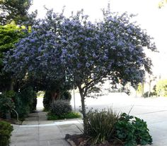 Ceanothus Ray Hartman commonly lives for 30 plus years and stay in this tree form for about 20 of those years.