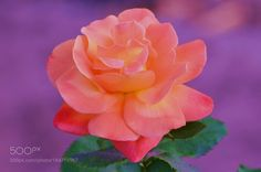 Peace Rose by kimeee #nature #mothernature #travel #traveling #vacation #visiting #trip #holiday #tourism #tourist #photooftheday #amazing #picoftheday