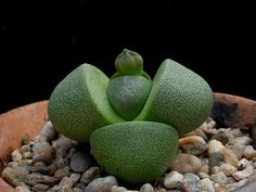 Lithops - Pleiospilos nelii     I have this plant....it's very strange looking