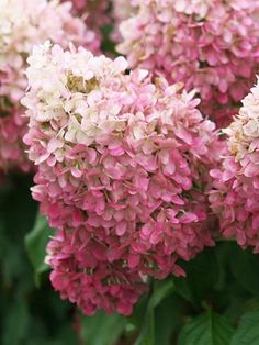 Explore the unique collection of Hydrangea plants for your yard from Bluestone Perennials. Find the Hydrangea shrubs that speak to you. Pink Garden, Pink Hydrangea, Plants, Panicle Hydrangea, Beautiful Flowers, Hydrangea Paniculata, Flowers, Ornamental Plants, Perennial Shrubs