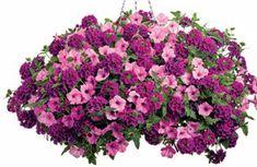Hit It Big Proven Winners Combination - Superbena Burgundy Verbena, Supertunia Vista Bubblegum Petunia