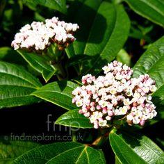 Viburnum davidii: Information, Pictures & Cultivation Tips