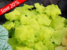 Heuchera Citronelle - Deer proof mounds of bright yellow leaves on this Coral Bells. Thrives with Hardy Ferns, Hostas, & Hydrangeas.