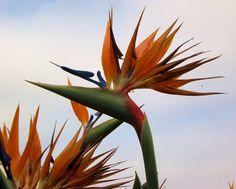 BIRD OF PARADISE Watercolor Art, Paradise, Bird, Plants, Home, Watercolor Painting, Birds, Flora, Plant