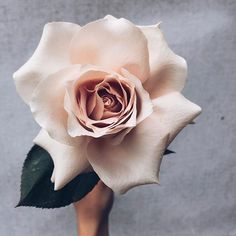 Another impressive bloom from down under, the Fibonacci rose. A giant version from the much loved rose family. And in blush. Can it get any better?  @boutierre_girls