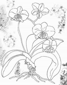 moth orchid coloring pages - photo#3