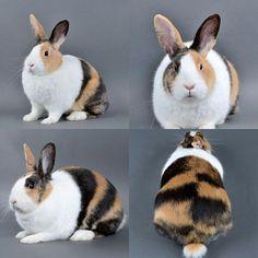 Dutch rabbit harlequin japanese tricolor