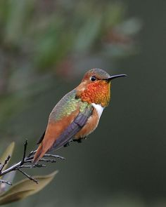 Allen's Hummingbird - Whatbird.com