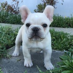 Beige French Bulldog Puppy, via Batpig & Me Tumble It