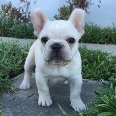 Beige French Bulldog Puppy, via Batpig & Me Tumble It