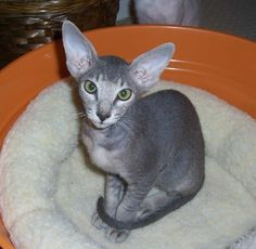 Blue ticked oriental shorthair. My absolute FAVORITE breed ever!