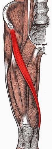 Su imagen e inserciones, las podéis ver aquí .    El músculo más largo del cuerpo humano, ubicado a lo largo de los muslos, que permite l...