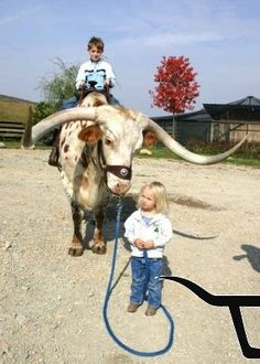who would think they could be so gentle longhorn with kids