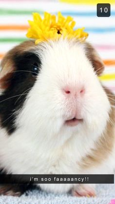 This Is What It Would Look Like If Guinea Pigs Used Snapchat