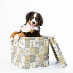 Christmas time. Puppy, not a toy. Bernese mountain dog Bouvier Bernois Berninpaimenkoira Dog photography koiravalokuvaus