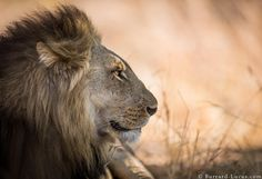 Luangwa Lion | by Burrard-Lucas Wildlife Photography