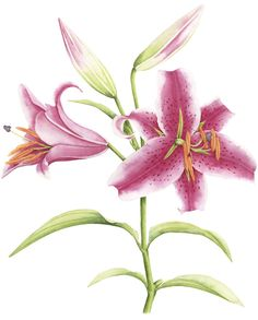 Oriental Lily illustration. An illustration for Australian House & Garden magazine December 2013. © Allison Langton