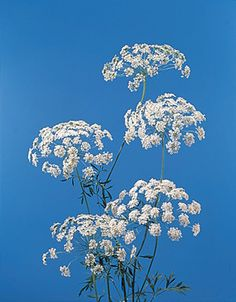 Check out the deal on Ammi Majus Queen of Africa seeds at Hazzard's Seeds Healing Herbs, Medicinal Plants, Perennial Vegetables, Queen Annes Lace, Natural Herbs, Ornamental Grasses, Planting Seeds, Perennials, Wild Flowers