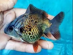 Which goldfish species do you like the most? 🤔⠀ This is an Oranda with batik scales! 💎⠀ ⠀⠀⠀⠀⠀⠀⠀⠀ ☝️ Click the link in my bio to shop for exotic fish!⠀ ⠀⠀⠀⠀⠀⠀⠀⠀⠀ 📲 Tag a friend who'd love this! Oranda Goldfish, Goldfish Tank, Goldfish Species, Colorful Fish, Tropical Fish, Beautiful Fish, Animals Beautiful, Koi, Animals And Pets