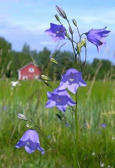 Name also: Bluebell, Scottish Harebell, Common Harebell, Bluebells ...