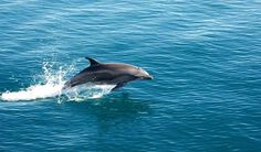 Go on dolphin watching tours at various parts of Mandovi River. This activity is popular near Sinquerim beach. #Goa