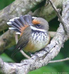 Birds Fantails Co, Rufifrons Iucn, Rhipiduridae Australia, Solomon Rufous, Pygmy Drongos, Rhipiduridae Fantails, Birds Rhipiduridae, Fantail Rhipidura, ...