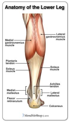 The anatomy of the Lower Leg. The Achilles Tendon attaches the heel bone to the gastrocenemius and soleus muscles. Human Muscle Anatomy, Human Anatomy And Physiology, Calf Muscle Anatomy, Leg Muscles Anatomy, Calf Anatomy, Anatomy Of The Neck, Soleus Muscle, Calf Muscles, Lower Leg Muscles