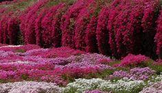 plantes rampantes et tombantes sur un talus fleuri