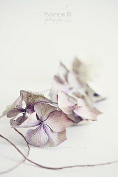 hydrangeas - BY yvonne b photography
