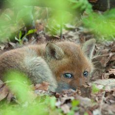 Red Fox Cub by Geurt Besselink