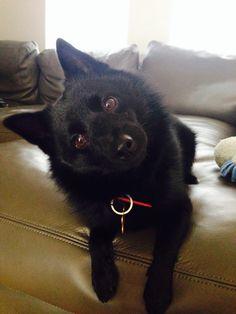 Did you say 'walk'?!?! Schipperke head tilt is the best! schipperke dog cute