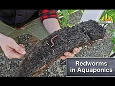 Redworms in Aquaponics - How do redworms work in aquaponics? This tells you! YouTube