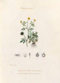 Pierre Turpin -- 'Renonculacées. Renoncule des champs. Ranunculus arvensis' -- Pierre Turpin -- Artists -- RHS Prints