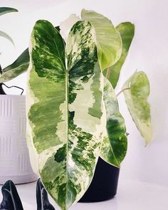 philodendron burle marx - All For Herbs And Plants Unique Plants, Cool Plants, Room Deco, Plant Aesthetic, Plants Are Friends, Jade Plants, Variegated Plants, House Plants Decor, Tropical Plants