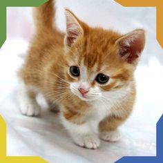 Los gatos Munchkin provienen de una mutación genética natural que hace que tengan las patas más cortas de lo normal, pero esto no interfiere en las actividades comunes de un gato, ni tampoco sufren problemas de columna. Llegan a pesar entre 2 y 4 kg y hay variedades de pelo corto y de pelo largo y se pueden encontrar en varios colores y patrones.