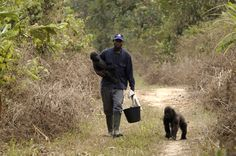 Shai, 2003, walking back after a busy day playing in the forest! Shai is in the arms of carer Appolinaire and Nkan Daniel is walking with them. Shai was the first gorilla who Nkan was introduced to, and they are still together in the forest. © Ape Action Africa