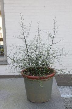 Corokia cotoneaster Maori Ikebana, Planter Pots, Gardens, Collection, Maori, Flower Arrangements, Tuin, Garden, Formal Gardens