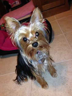 Homemade Dog Food For Yorkie Puppies