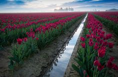 Tulip Fields (6)