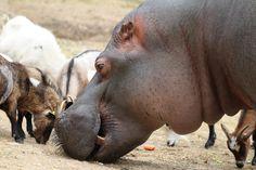 Le Parc animalier d'Auvergne lance un financement participatif pour une maison pour Jules !