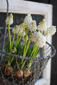 White Grape Hyacinths in a vintage wire basket + Rustic Chic + Country + Easter + Spring Decor